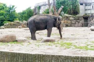 Elephant in Berlin Zoo - A City break guide to Hamburg packed full with top things to do in Hamburg, where to eat in Hamburg and why visit this habour town. recipesfromapantry.com #hamburg #thingstodoinhamburg