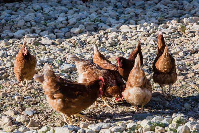group of brown chickens scratching gravel