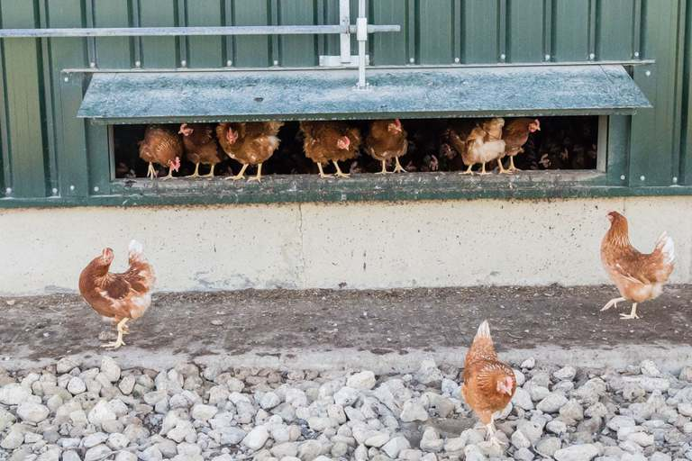 brown chickens in a green hen house and some outside on gravel